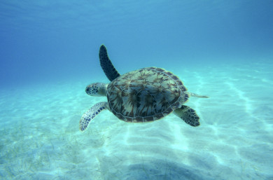 St. John Hawksbill turtle in clear water